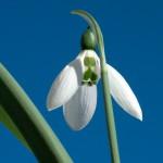 Fotoreportage Op Mix Erf - Bloemen en planten - Sneeuwklokje