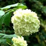 Fotoreportage Op Mix Erf - Bloemen en planten - Sneeuwbal