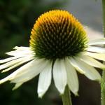 Fotoreportage Op Mix Erf - Bloemen en planten - Echinacea