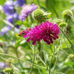 Op Mix Erf - Amersfoort - stekjes - Beemdkroon - knautia macedonica lila - donker roze