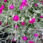 Op Mix Erf - Amersfoort - stekjes - Prikneus lychnis roze
