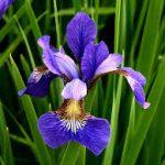 Op Mix Erf - Amersfoort - stekjes - iris-lis blauw