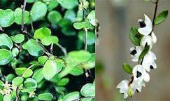 op-mix-erf-amersfoort-stekjes-muehlenbeckia-complexa-met-bloem