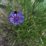 Op Mix Erf - bloemen en planten - Wendy Phaff - korenbloem en hommel