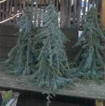 op-mix-erf-amersfoort-stekjes-kerstboompje-blauwspar