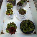 Op Mix Erf - Amersfoort - stekjes - vetplantjes diverse