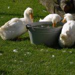 Op Mix Erf - erf dieren - Wendy Phaff - eenden met teil