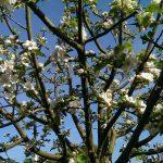 Fotoreportage Op Mix Erf - Bloemen en planten - Wendy Phaff - appelbloesem