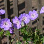 Fotoreportage Op Mix Erf - Bloemen en planten - Wendy Phaff - geranium paars met koolwitje