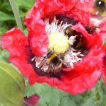 Fotoreportage Op Mix Erf - Bloemen en planten - Wendy Phaff - slaapbol klaproos met 5 hommels