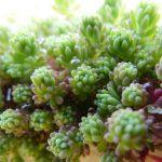 Fotoreportage Op Mix Erf - Bloemen en planten - Wendy Phaff - vetplant sedum hispanicum 'purple form'