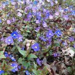 Op Mix Erf - bloemen en planten - Wendy Phaff - Veronica peduncularis-Georgia Blue