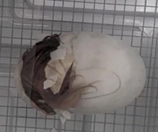 Op Mix Erf - afbeelding bij video - Peking eend worstelt zich uit ei