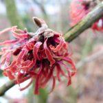 Op Mix Erf - bloemen en planten - Wendy Phaff - hamamelis-ruby glow-toverhazelaar