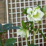 Op Mix Erf - bloemen en planten - Wendy Phaff - kerstroos helleborus wit