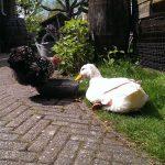 Op Mix Erf - erf dieren - Wendy Phaff - Pekingeend en cochin kriel