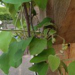Op Mix Erf - Amersfoort - blog - teksten - Duitse pijp - Aristolochia macropylla